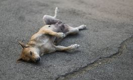 Homeless dog sleeping on the street in funny position. An orange stray dog sleeping on the street somewhere in Bangkok in an ridiculous position Royalty Free Stock Photography