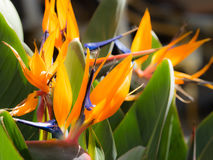 Orange strelitzia flower Royalty Free Stock Photo