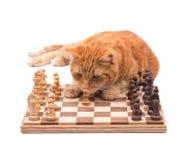 Orange strimmig kattkatt som nära kontrollerar ett schackstycke Royaltyfri Bild
