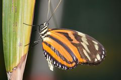 Orange striped butterfly. On a green leaf Royalty Free Stock Image