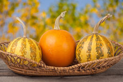 Orange and striped decorative pumpkins on a wooden table in  wicker basket with blurred garden background Stock Image