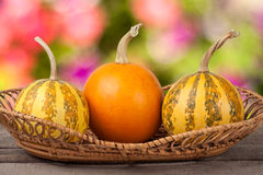 Orange and striped decorative pumpkins on a wooden table in  wicker basket with blurred garden background Royalty Free Stock Photography
