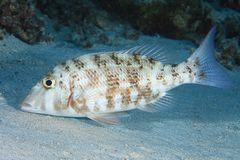 Orange-striped emperor fish Royalty Free Stock Images