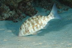 Orange-striped emperor fish Stock Photography