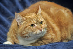 Orange striped foxy cat Royalty Free Stock Image