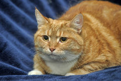 Orange striped foxy cat Stock Photography