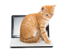 Orange striped kitten and laptop Stock Image