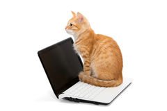 Orange striped kitten and laptop Stock Photos