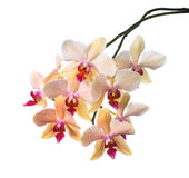Orange striped orchid isolated on the white Stock Images