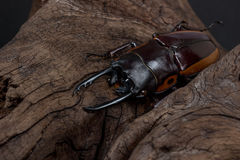 Orange Striped Stag Beetle Royalty Free Stock Images
