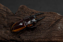 Orange Striped Stag Beetle Stock Photography