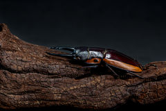 Orange Striped Stag Beetle Royalty Free Stock Image