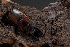 Orange Striped Stag Beetle Stock Image
