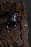 Orange Striped Stag Beetle Stock Images