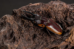 Orange Striped Stag Beetle Royalty Free Stock Photos
