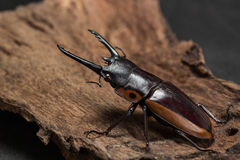 Orange Striped Stag Beetle Stock Photo