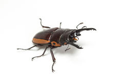 Orange Striped Stag Beetle Royalty Free Stock Photography