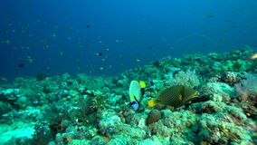 Orange-striped Triggerfish Balistapus undulatus  and Emperior angelfish Pomacanthus imperator  in coral of Red sea. Sudan stock video footage