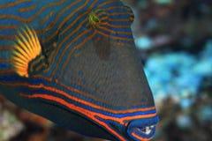 Orange-striped triggerfish. Close up of Orange-striped triggerfish (Balistapus undulatus royalty free stock images