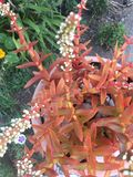 Orange succulent plants Royalty Free Stock Image