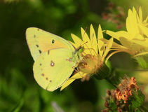 Orange sulphur butterfly. In early fall in Missouri Royalty Free Stock Images