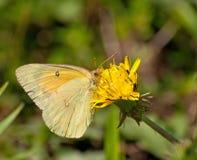 Orange Sulphur butterfly Stock Images