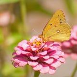 Orange sulphur butterfly. In summer garden royalty free stock photography