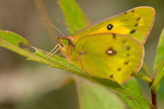 Free Orange Sulphur Butterfly Royalty Free Stock Photo - 46491035