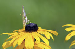 Orange Sulphur Butterfly - Albino Female. An orange sulphur butterfly female in the albino white or green form gathers nectar atop a black-eyed Susan flower ( Royalty Free Stock Image