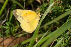 Orange Sulphur Butterfly - Colias eurytheme stock photos