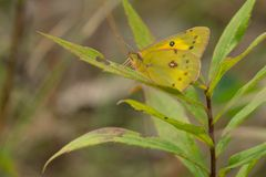 Orange Sulphur Butterfly - Colias eurytheme. Orange Sulphur Butterfly perched on a green leaf. Also known as an Alfalfa Butterfly. Presqu'ile Provincial royalty free stock image