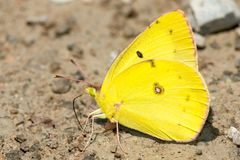 Orange Sulphur Butterfly Stock Images