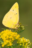 Orange Sulphur Butterfly Royalty Free Stock Image