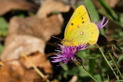 Orange Sulphur Butterfly - Colias eurytheme. Orange Sulphur Butterfly collecting nectar from a Spotted Knapweed flower. Also known as an Alfalfa Butterfly. Tommy royalty free stock photo