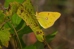 Orange Sulphur Butterfly - Colias eurytheme royalty free stock photography