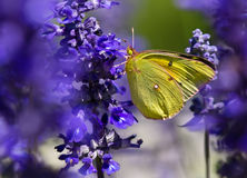 Orange Sulphur (Colias eurytheme) butterfly Royalty Free Stock Image