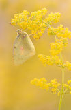 Orange Sulphur (Colias eurytheme) butterfly royalty free stock images