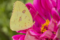 Orange Sulphur (Colias eurytheme) on a flower stock image