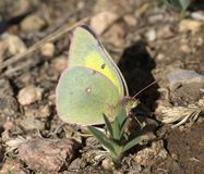 Orange Sulphur royalty free stock images