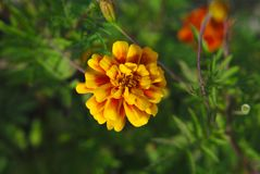 Summer flower. Orange summer flower blooming lavishly Stock Photography