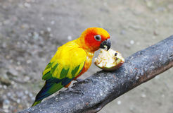 Orange sun conure Royalty Free Stock Images