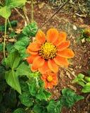 Orange sun flower Stock Photo