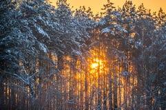 Sun shine through winter trees. Orange Sun shine through winter trees, winter landscape stock image