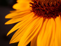 Orange Sunflower. Closeup detail Royalty Free Stock Photo