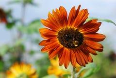 Orange sunflower Stock Images