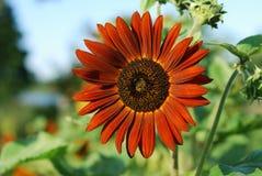 Orange sunflower Royalty Free Stock Photography