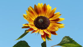 Orange sunflower Stock Photography