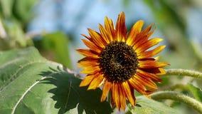 Orange sunflower Royalty Free Stock Images