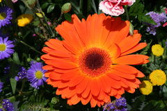 Orange sunflower. Common red sunflower in a bouquet Stock Photo