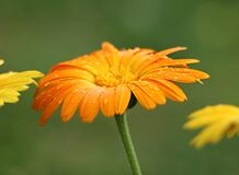 Orange Sunflower Royalty Free Stock Images